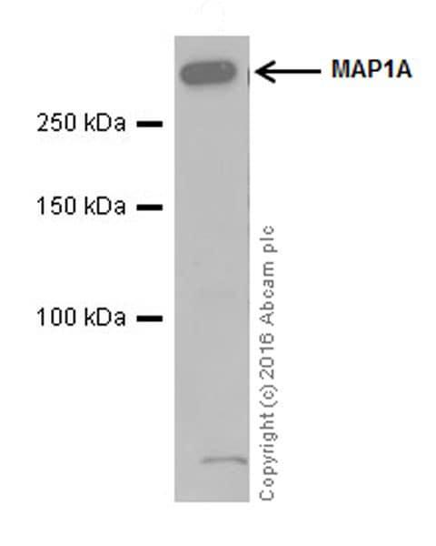 Western blot - Anti-MAP1A antibody [EPR18994] (ab184350)