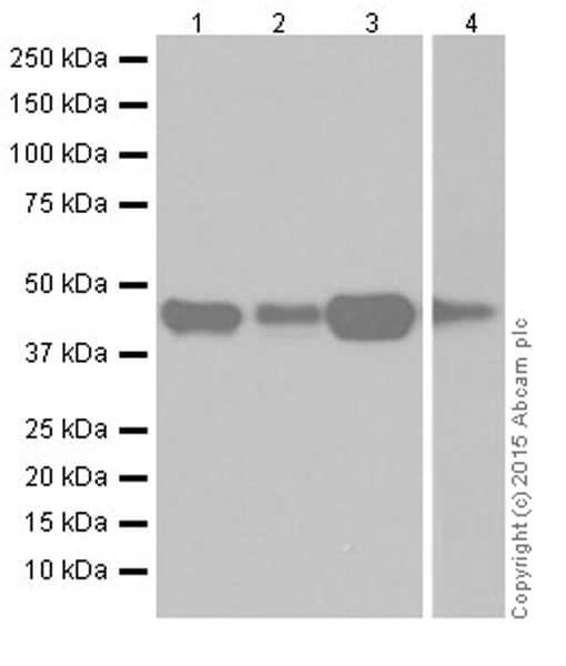 Western blot - Anti-RCN1/RCN antibody [EPR19193] (ab184441)