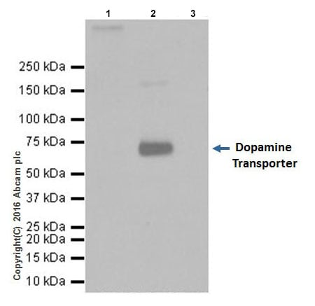 Immunoprecipitation - Anti-Dopamine Transporter antibody [EPR19695] (ab184451)