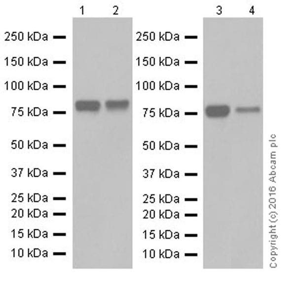 Western blot - Anti-SHCBP1 antibody [EPR18843] (ab184467)
