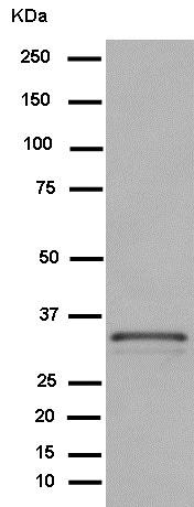 Western blot - Anti-Syntaxin 4 antibody [EPR15473] (ab184545)