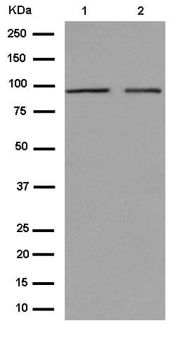 Western blot - Anti-CDT2/RAMP antibody [EPR14978] (ab184548)