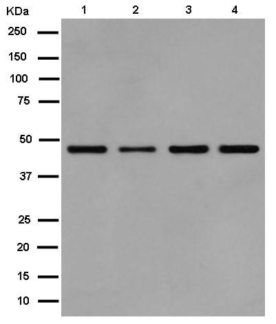 Western blot - Anti-EIF2S2/EIF2B antibody [EPR15833(B)] (ab184549)