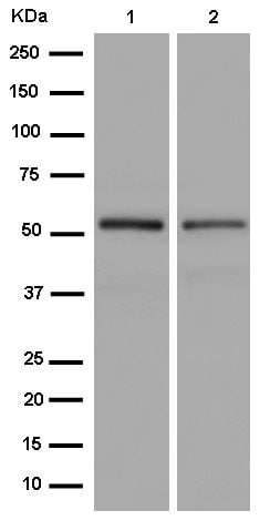 Western blot - Anti-P70 S6 Kinase beta/SRK antibody [EPR14956] - N-terminal (ab184551)