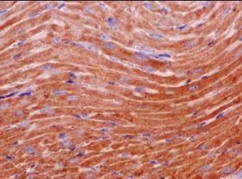 Immunohistochemistry (Formalin/PFA-fixed paraffin-embedded sections) - Anti-PPIC antibody [EPR15355] - C-terminal (ab184552)