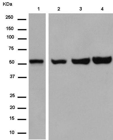 Western blot - Anti-GPR176 antibody [EPR13983] - N-terminal (ab184558)