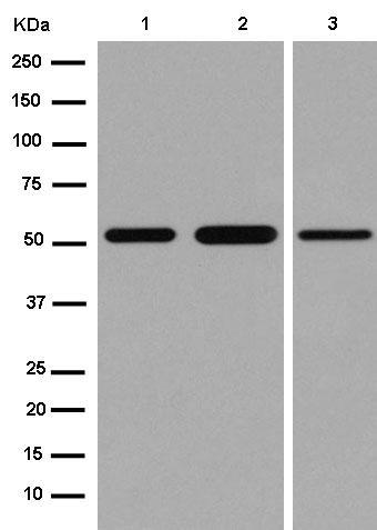 Western blot - Anti-TMEM161B antibody [EPR14032] - N-terminal (ab184559)