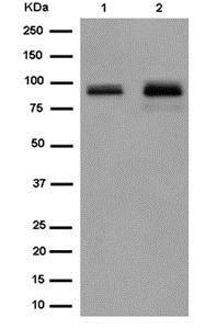Western blot - Anti-KCTD3 antibody [EPR14398] - C-terminal (ab184561)