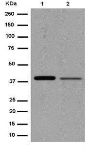 Western blot - Anti-ACTL8 antibody [EPR13912] (ab184562)