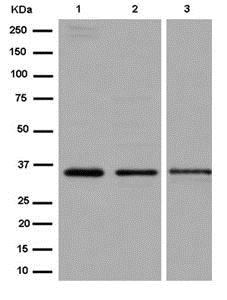 Western blot - Anti-SNAP-beta antibody [EPR15046(B)] - N-terminal (ab184563)