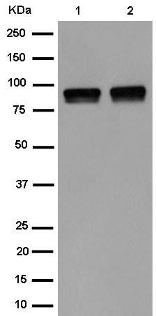 Western blot - Anti-IFT88 antibody [EPR14850] - N-terminal (ab184566)