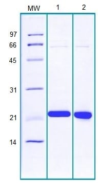 SDS-PAGE - Recombinant Human PPIH protein (ab184587)