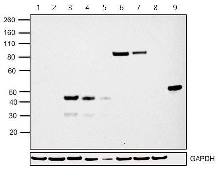 Western blot - Anti-EGFP antibody [F56-6A1.2.3] (ab184601)
