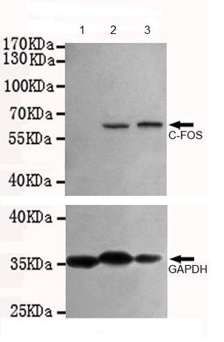 Western blot - Anti-c-Fos antibody [7D6-A9-D4] (ab184666)