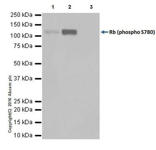 Immunoprecipitation - Anti-Rb (phospho S780) antibody [EPR17624] (ab184702)