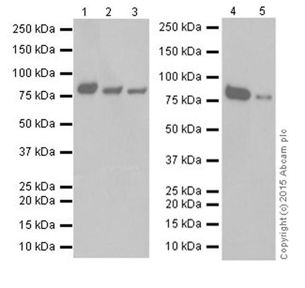 Western blot - Anti-Cyclin T1 antibody [EPR17982] (ab184703)
