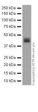 Western blot - Anti-Alpha Skeletal Muscle Actin antibody [EPR18430] (ab184705)