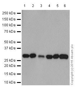 Western blot - Anti-PHD3 antibody [EPR17869] (ab184714)