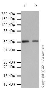 Western blot - Anti-MLKL antibody [EPR17514] (ab184718)