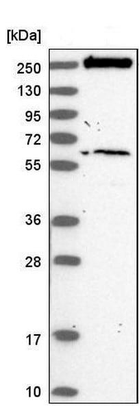 Western blot - Anti-VWA8 antibody - C-terminal (ab184725)