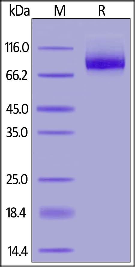 SDS-PAGE - Recombinant human Neuropilin 1 protein (ab184734)