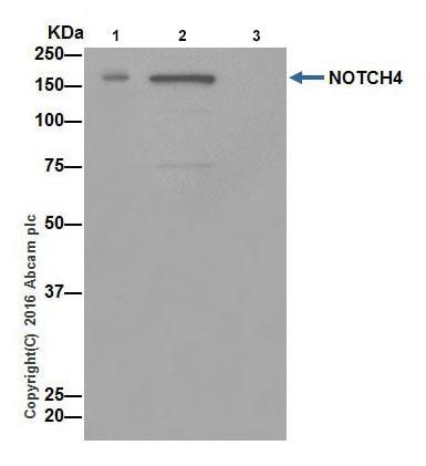 Immunoprecipitation - Anti-NOTCH4 antibody [EPR18049] (ab184742)