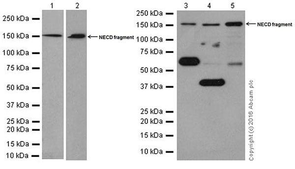 Western blot - Anti-NOTCH4 antibody [EPR18049] (ab184742)
