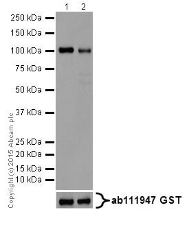 Western blot - Anti-PKC alpha + beta 2 + gamma antibody [EPR18104] (ab184746)