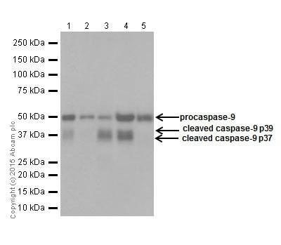 Western blot - Anti-Caspase-9 antibody [EPR18868] (ab184786)