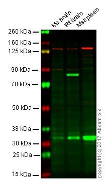 Western blot - Anti-Caspase-3 antibody [EPR18297] (ab184787)