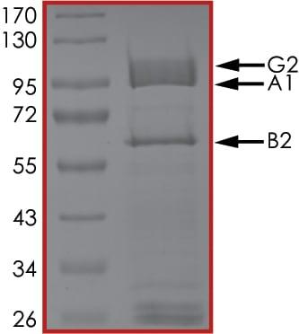 SDS-PAGE - Recombinant human AMPK alpha 1 + AMPK beta 2 +AMPK gamma 2 protein (Active) (ab184883)
