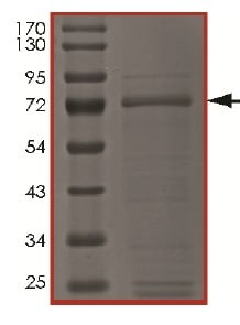 SDS-PAGE - Recombinant human c-Kit (mutated D820E) protein (ab184893)