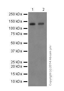 Western blot - Anti-Delta-catenin antibody [EPR17628] (ab184917)
