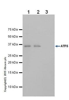 Immunoprecipitation - Anti-ATF5 antibody [EPR18286] (ab184923)