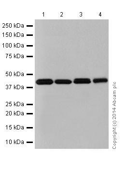 Western blot - Anti-Bcl G/BCL2L14 antibody [EPR17666] (ab184925)