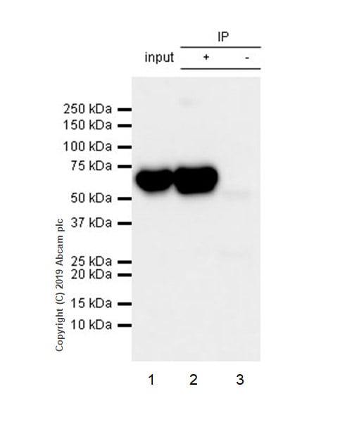 Immunoprecipitation - Anti-ALAS2/ASB antibody [EPR15112(B)] - C-terminal (ab184964)