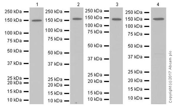 Western blot - Anti-Collagen III antibody [EPR17673] (ab184993)