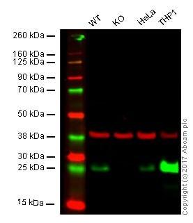 Western blot - Anti-Bcl-2 antibody [E17] - BSA and Azide free (ab185002)