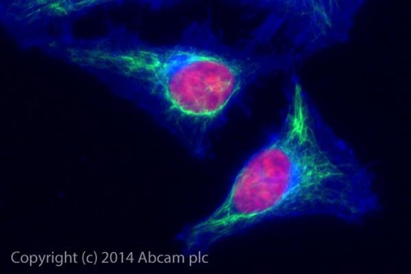 Immunocytochemistry/ Immunofluorescence - Alexa Fluor® 488 Anti-Vimentin antibody [EPR3776] - Cytoskeleton Marker (ab185030)