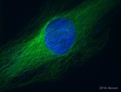 Immunocytochemistry/ Immunofluorescence - Alexa Fluor® 488 Anti-alpha Tubulin antibody [EP1332Y] - Microtubule Marker (ab185031)