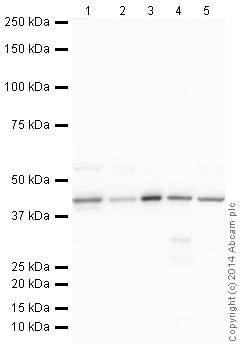 Western blot - HRP Anti-muscle Actin antibody [EPR8484] - Loading Control (ab185058)