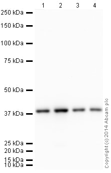 Western blot - Anti-GAPDH antibody [EPR6256] - Loading Control (HRP) (ab185059)