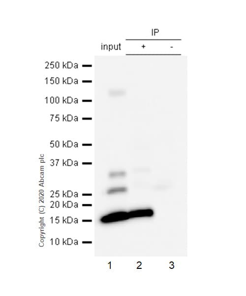 Immunoprecipitation - Anti-Prealbumin antibody [EP2929Y] - BSA and Azide free (ab185127)