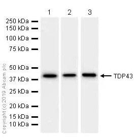 Western blot - Anti-TDP43 antibody [EPR5810] - BSA and Azide free (ab185133)