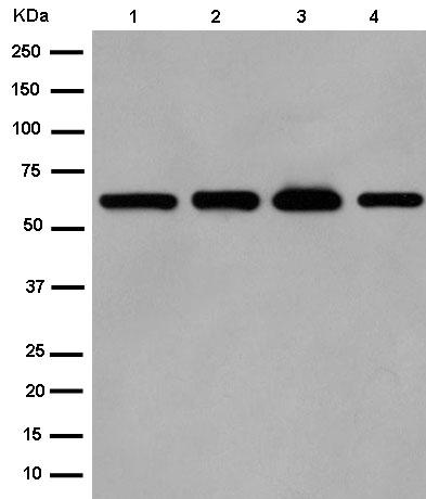 Western blot - Anti-DCBLD1 antibody [EPR13222] (ab185216)