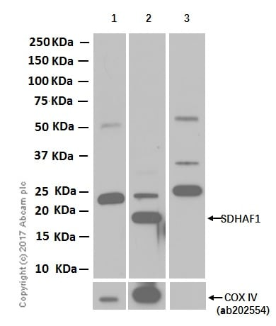 Western blot - Anti-SDHAF1 antibody [EPR13380] (ab185222)
