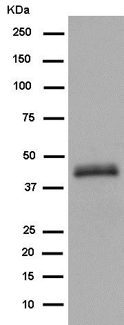 Western blot - Anti-TMEM59L antibody [EPR14975] (ab185227)