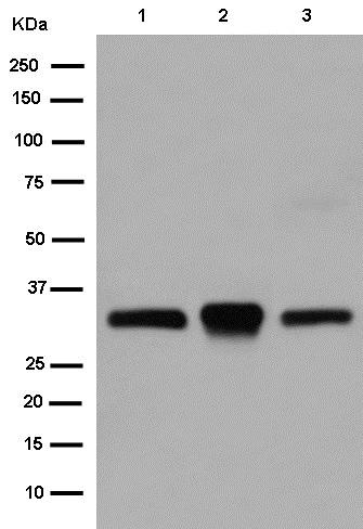 Western blot - Anti-TREX1 antibody [EPR14985] (ab185228)