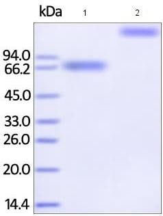 SDS-PAGE - Recombinant human IL-21R protein (Fc Chimera Active) (ab185250)