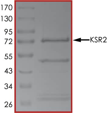 SDS-PAGE - Recombinant human KSR2 protein (ab185259)
